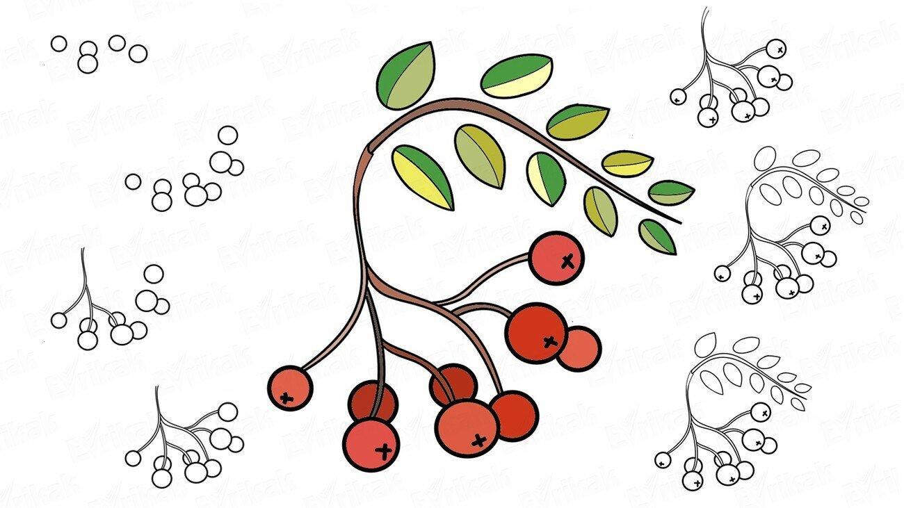 Apprenons à dessiner un sorbier rouge (+ Coloriage)